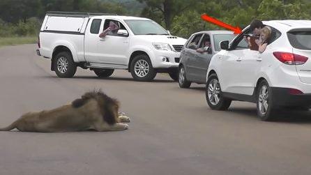 I bambini si sporgono dall'auto per fotografare il leone: la reazione del felino è spaventosa