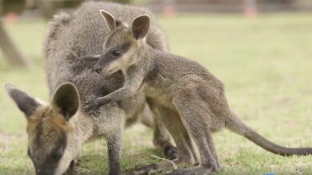 """Quando tutto quello che vuoi è tornare """"a casa"""": il baby canguro implora la mamma"""