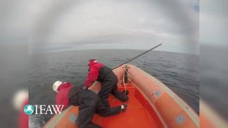 La balena resta incastrata in una grossa rete: il disperato tentativo di salvarle la vita