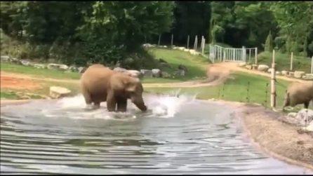 L'elefante subacqueo, si tuffa nel laghetto e sparisce in acqua