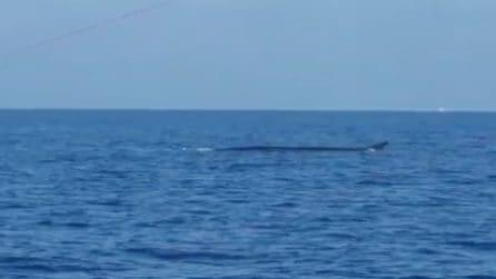 Balena a largo di Fiumicino: i pescatori immortalano lo spettacolo