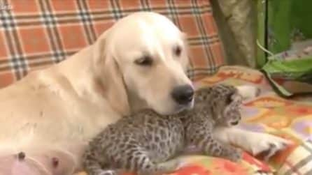 Golden retriever adotta un cucciolo di leopardo: le immagini sono dolcissime