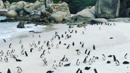 La spiaggia è completamente invasa dai pinguini: lo spettacolo unico di Boulders Beach
