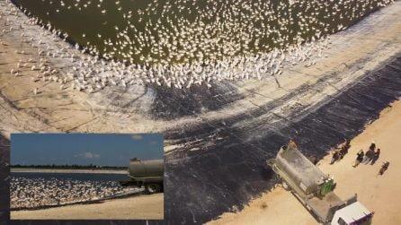 Migliaia di pellicani nutriti con tonnellate di pesce in Israele: vengono sfamati per evitare danni