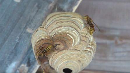 Scopre un nido gigante sotto al soffitto: i calabroni all'opera per costruire la loro casa