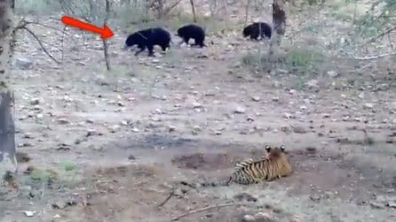 Una tigre minaccia i suoi piccoli: l'intervento di mamma orsa mette in fuga il felino