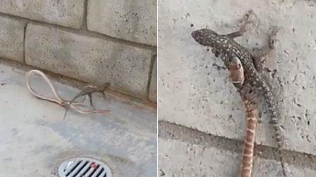 Il serpente tenta di mangiare una grossa lucertola: il combattimento in strada