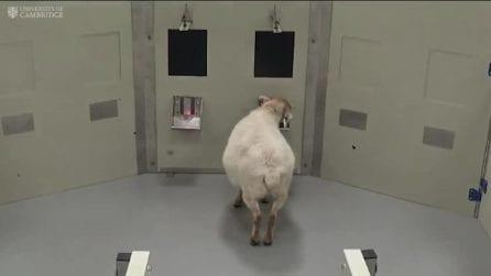 Le pecore riconoscono i volti umani dalle fotografie