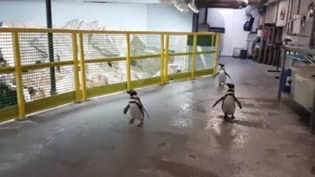 """I pinguini corrono verso il cibo: un pranzetto """"personalizzato"""""""