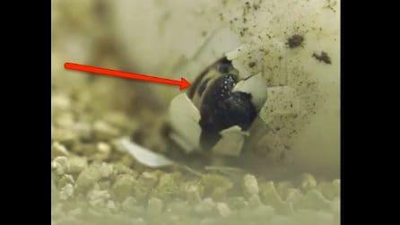 Il momento emozionante della schiusa delle uova: la nascita di tre coccodrilli nani