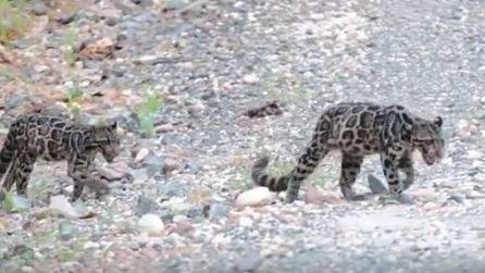 Malesia, avvistati rari esemplari di leopardo nebuloso del Borneo