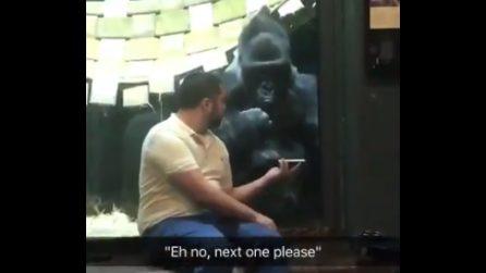 L'uomo mostra alcune foto al gorilla: quello che fa l'animale è esilarante