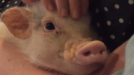 Lui è Hank, il maialino nano domestico che ha fatto innamorare il mondo intero