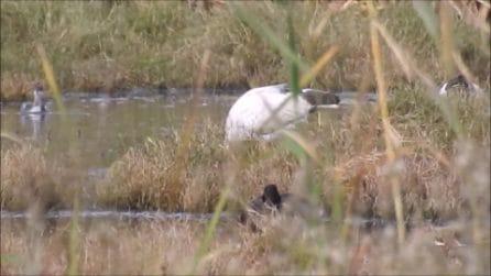 Ibis sacri in provincia di Latina: un avvistamento straordinario