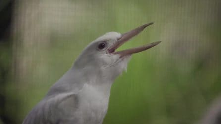 """Lo """"strano"""" suono di questo uccello è unico al mondo"""