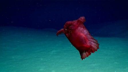 Mostruoso pollo senza testa negli abissi del Golfo del Messico: ma è un cetriolo di mare