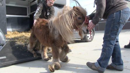 Poly, il pony prigioniero dei suoi zoccoli che non poteva più camminare. Oggi è un miracolo d'amore