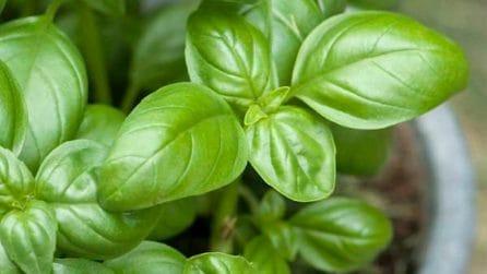 Come coltivare il basilico in casa