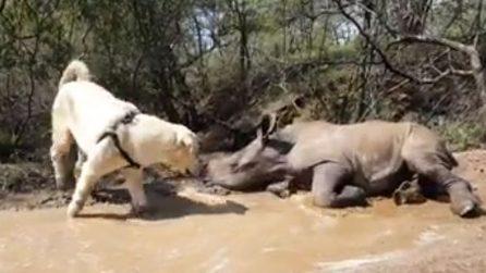 Un'amicizia speciale: il rinoceronte e il cane sono inseparabili