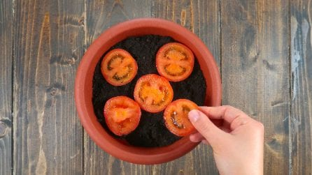 Put tomato slices into the ground: a special trick