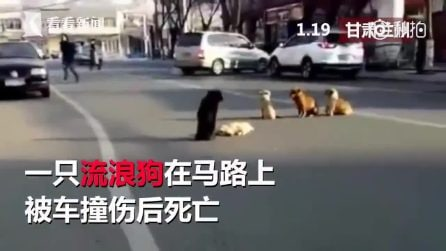 I cani restano a guardia del corpo del loro amico investito da un'auto