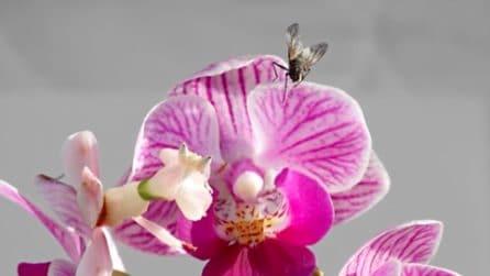 """L'insetto cammina su una splendida """"orchidea"""": in realtà si tratta di una trappola mortale"""
