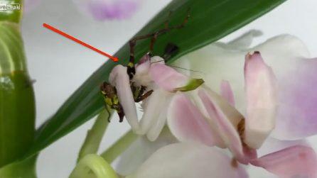 Ha i colori e le forme di un'orchidea ma non è un fiore: il grande pericolo per l'insetto