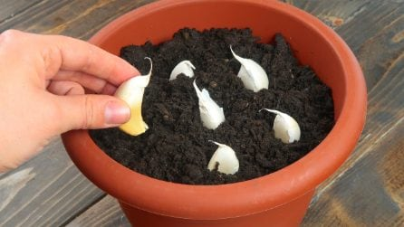 Mette l'aglio nel terreno: ecco cosa accade