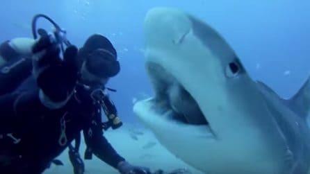 Il grosso squalo tigre si avvicina al sub e spalanca le fauci