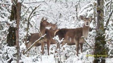 Sembra una fiaba, ma è tutto vero: l'incontro ravvicinato con i cervi nel bosco innevato
