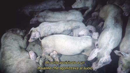 Pus ed escrementi, gli ingredienti 'segreti' del prosciutto? Animal Equality mostra cosa succede in un allevamento