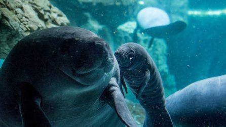 Nuovo arrivo all'Acquario di Genova: le emozionanti immagini del neonato lamantino accudito dalla madre