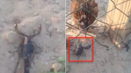 Un letale scorpione entra nel pollaio, ma una gallina reagisce alla minaccia