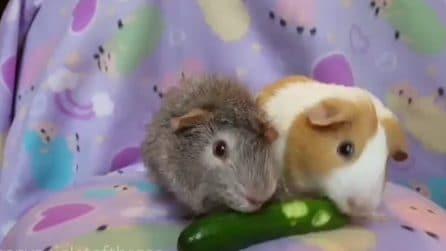 La lotta esilarante tra porcellini che ha conquistato il mondo