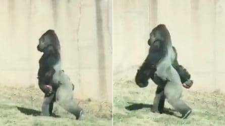 """""""Un comportamento sorprendente"""": il gorilla cammina tranquillamente su 2 zampe e il motivo vi stupirà"""