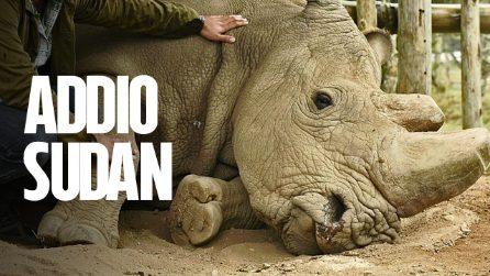 Sudan, la morte dell'ultimo maschio di rinoceronte bianco è una sconfitta di tutti gli esseri umani
