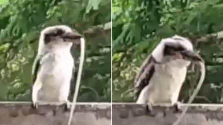 Il serpente tra le grinfie del kookaburra tenta di scappare: l'insolita scena nel cortile di casa