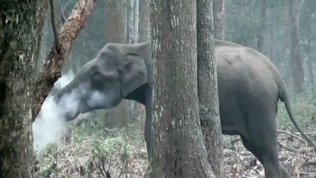 L'elefante sembra che fumi: ma c'è una spiegazione