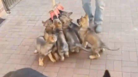 Il padrone prende una semplice scopa: la reazione dei cuccioli è divertentissima