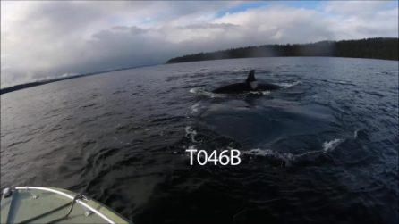 Orca maschio uccide un piccolo per costringere la madre ad accoppiarsi
