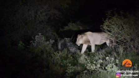 Nessuno è sconfitto in partenza: la lezione di un porcospino al branco di leoni