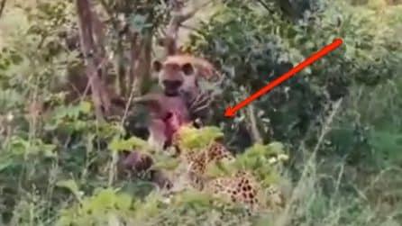 Una iena attacca un leopardo nel bosco: la scena ripresa durante un safari