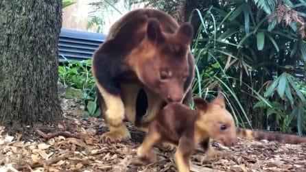 Il primo salto della sua vita: mamma canguro aiuta il tenero cucciolo