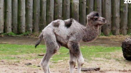 Il neonato cammello Louis: lo zoo decide di rendere omaggio al royal baby