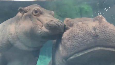 Coccole tra ippopotami allo zoo: la piccola Fiona incanta tutti