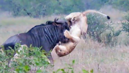 I leoni stanno per sbranare lo gnu, poi il colpo di scena: i turisti increduli filmano la lotta