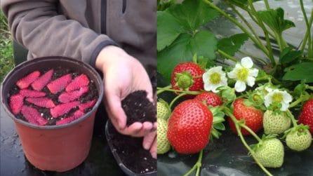 Come coltivare le fragole partendo dal frutto: l'idea geniale