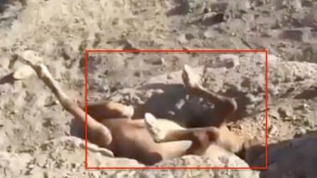 Cavallo incastrato tra le rocce: l'animale immobile e a testa in giù
