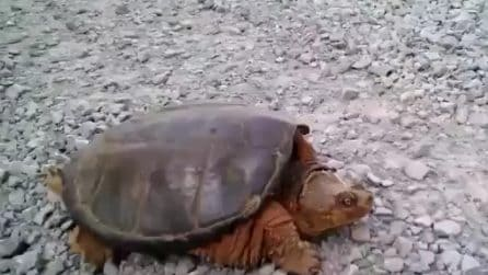 La stuzzica e ne subisce le conseguenze: la tartaruga lo attacca con uno scatto improvviso