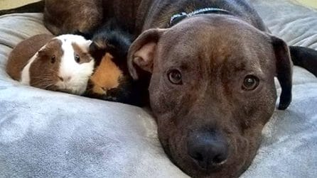 Il pitbull e i porcellini che si amano oltre ogni diversità. Un esempio per ogni essere umano